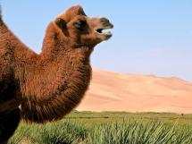 Chameau de Bactriane, désert de Gobi.