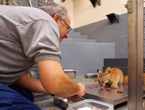 Nourrissage des bébés lynx, Biodôme de Montréal.