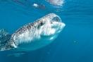 Requin baleine, Golfe de Tadjoura, Djibouti.
