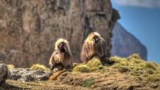Singes géladas, parc national du Simien, nord de l'Éthiopie.